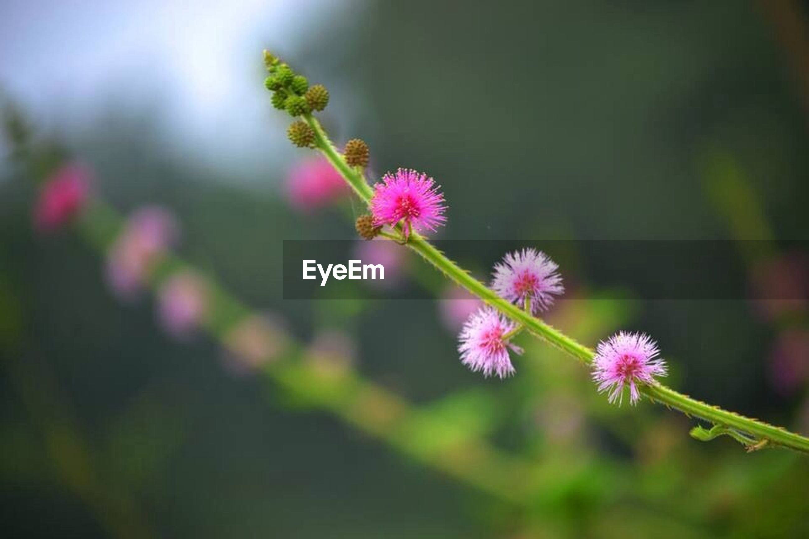 flower, freshness, growth, focus on foreground, fragility, pink color, close-up, beauty in nature, plant, nature, petal, stem, selective focus, bud, flower head, blooming, in bloom, pink, day, outdoors