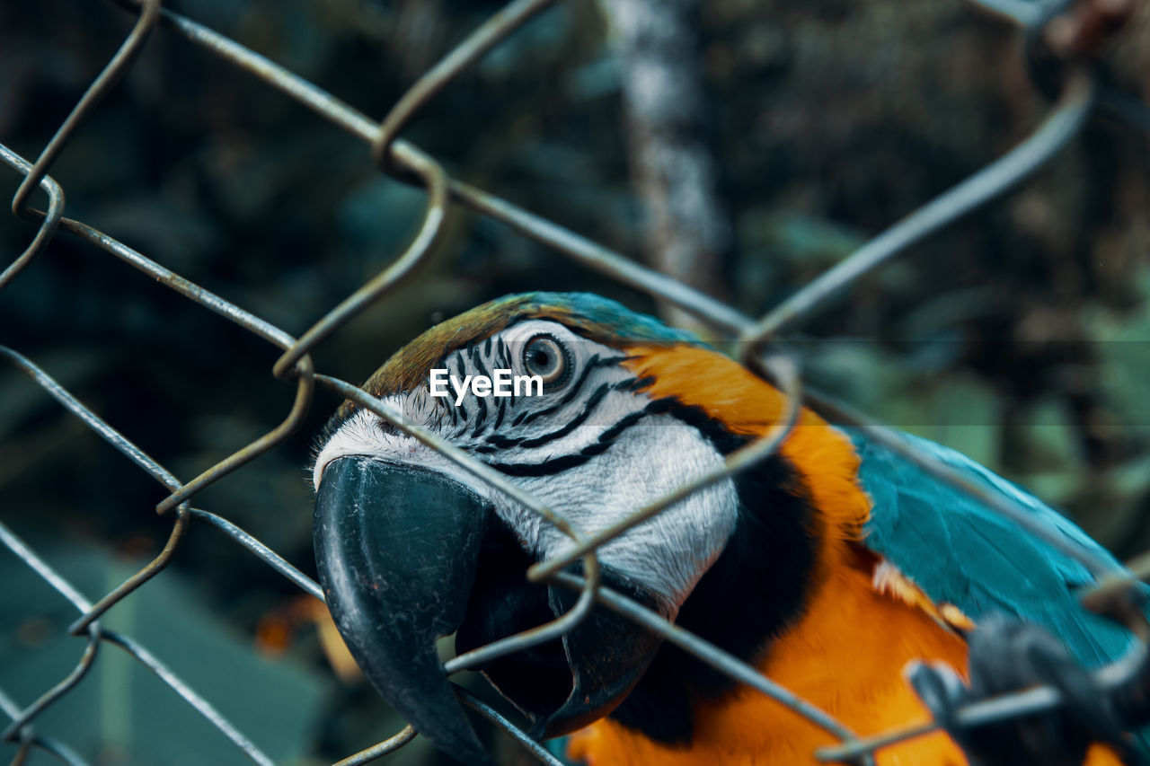 animal, one animal, animal themes, animal wildlife, vertebrate, animals in the wild, focus on foreground, close-up, no people, day, nature, bird, fence, macaw, gold and blue macaw, animal body part, parrot, zoo, animals in captivity, outdoors, animal head