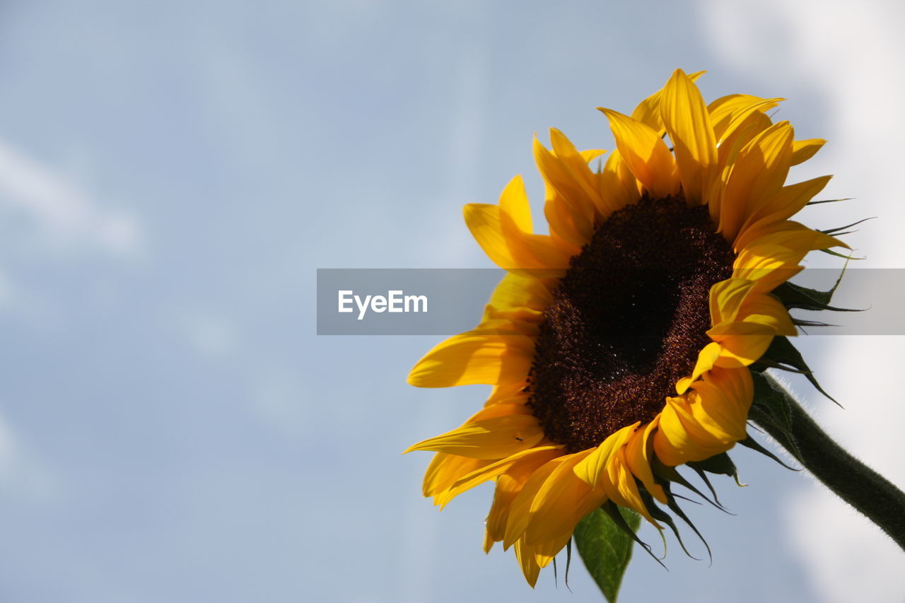 CLOSE-UP OF YELLOW SUNFLOWER BLOOMING AGAINST SKY