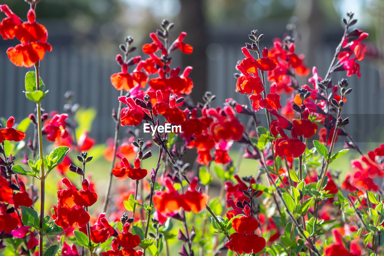 flowering plant, flower, growth, red, plant, freshness, beauty in nature, vulnerability, fragility, close-up, petal, no people, nature, day, selective focus, inflorescence, flower head, focus on foreground, outdoors, park, rowanberry