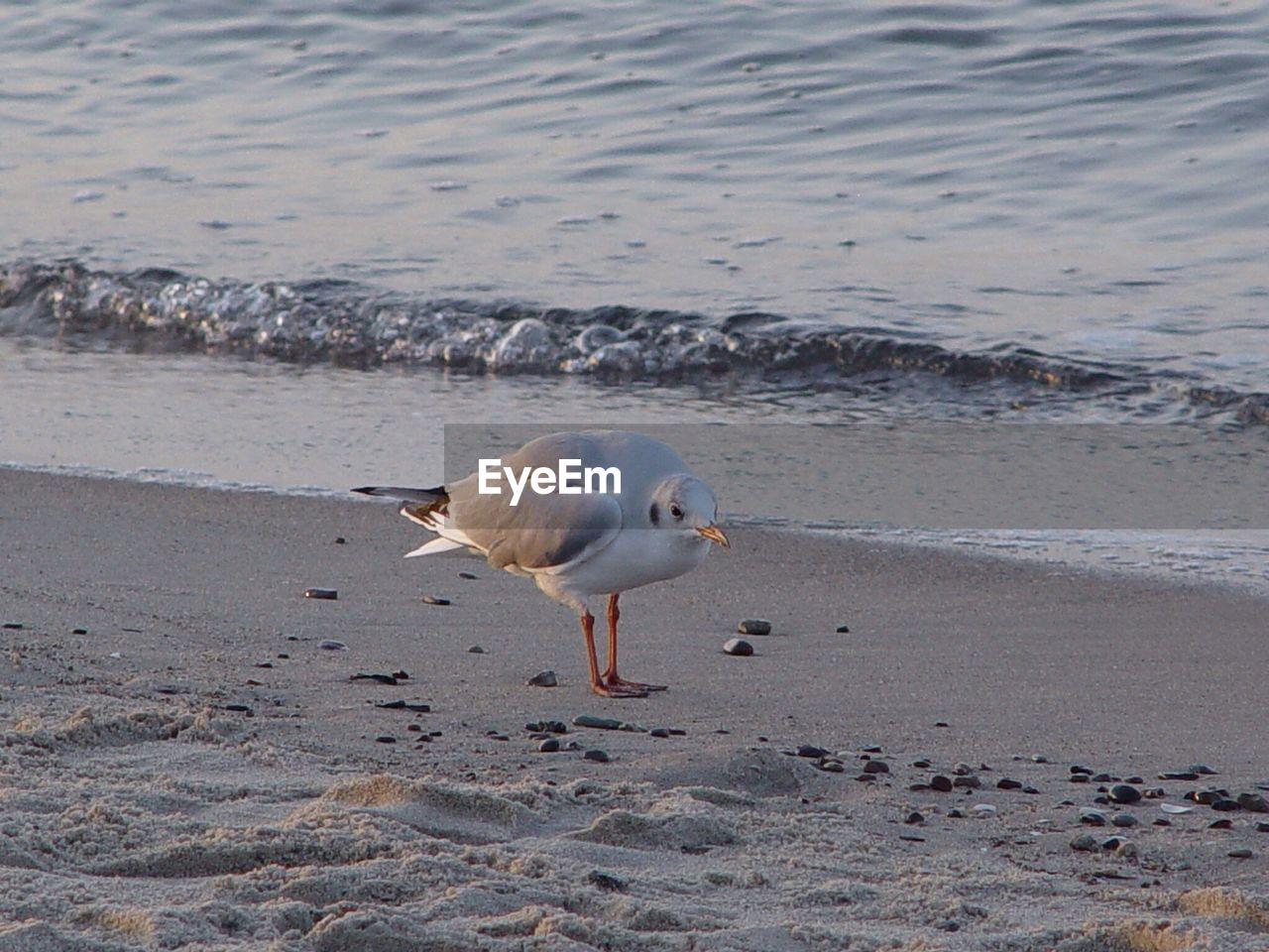 beach, one animal, bird, animal themes, shore, sand, animals in the wild, seagull, water, sea, animal wildlife, black-headed gull, nature, day, no people, outdoors, wave, beauty in nature, close-up