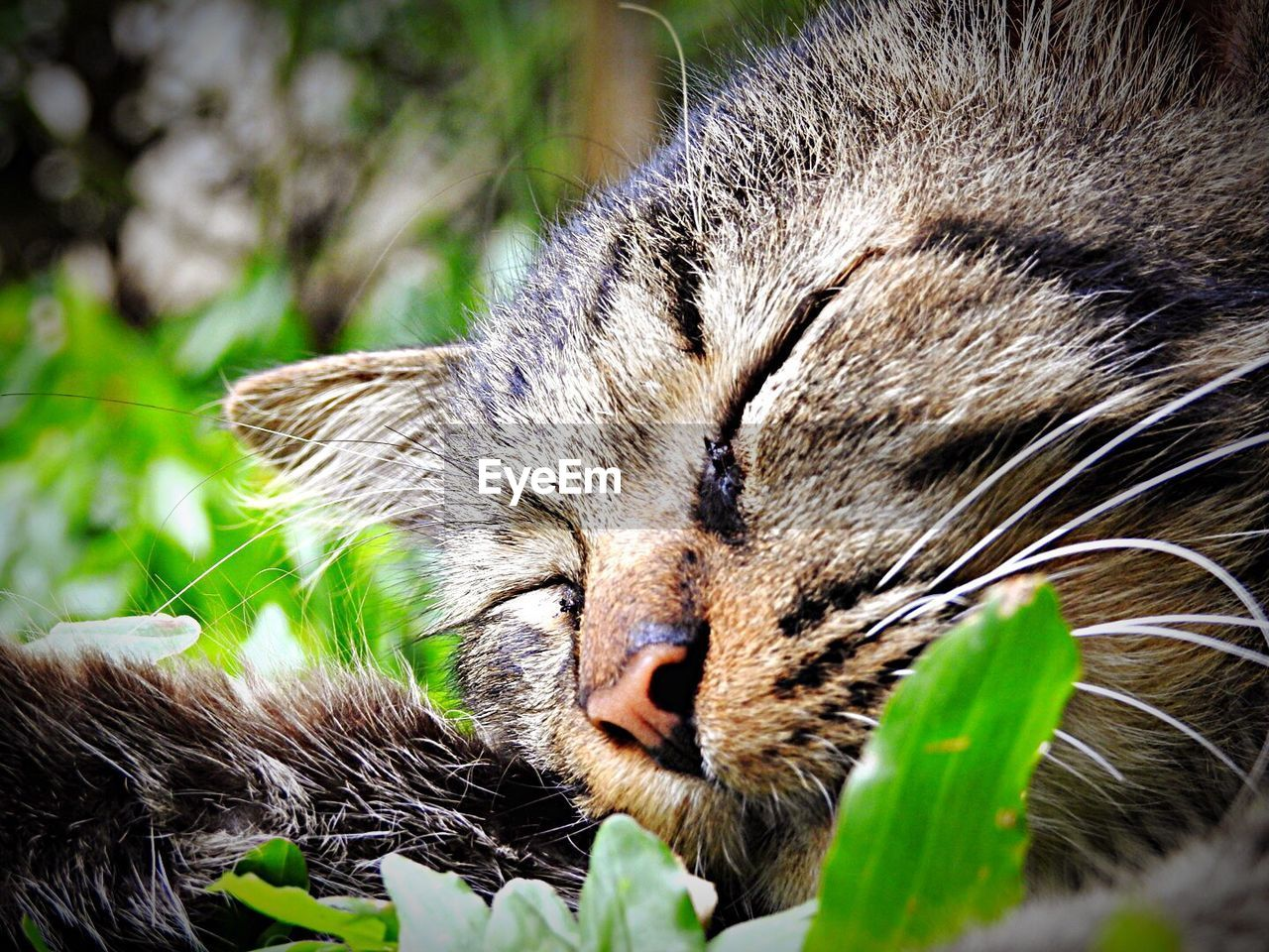 animal themes, animal, mammal, one animal, cat, feline, domestic animals, domestic cat, pets, domestic, close-up, no people, whisker, vertebrate, plant, relaxation, eyes closed, day, animal body part, nature, animal head, outdoors, mouth open, tabby