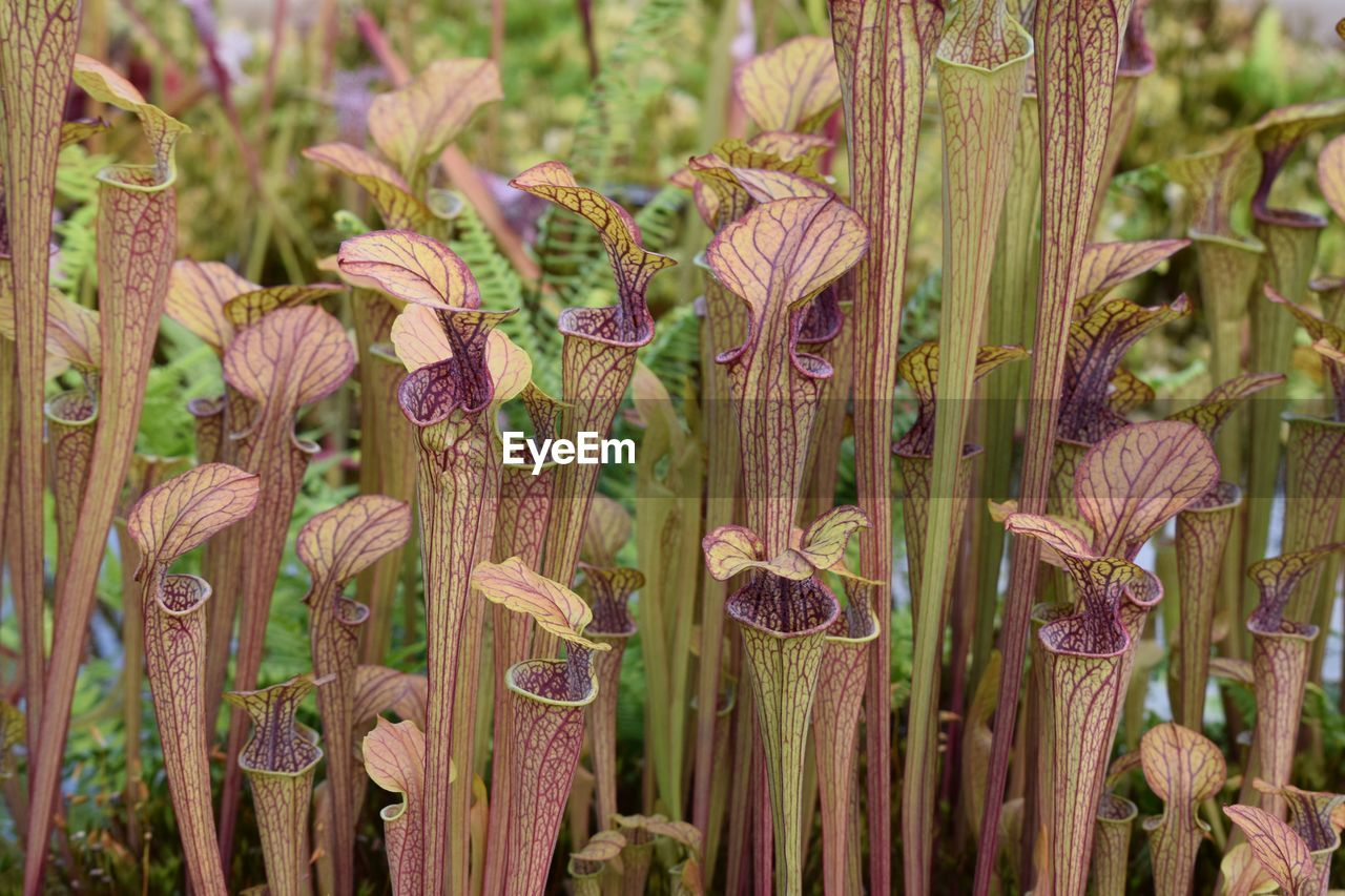 Pitcher plants growing outdoors
