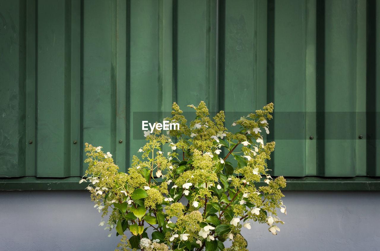 Hydrangea Flower Plant Growing Against Corrugated Metal Wall