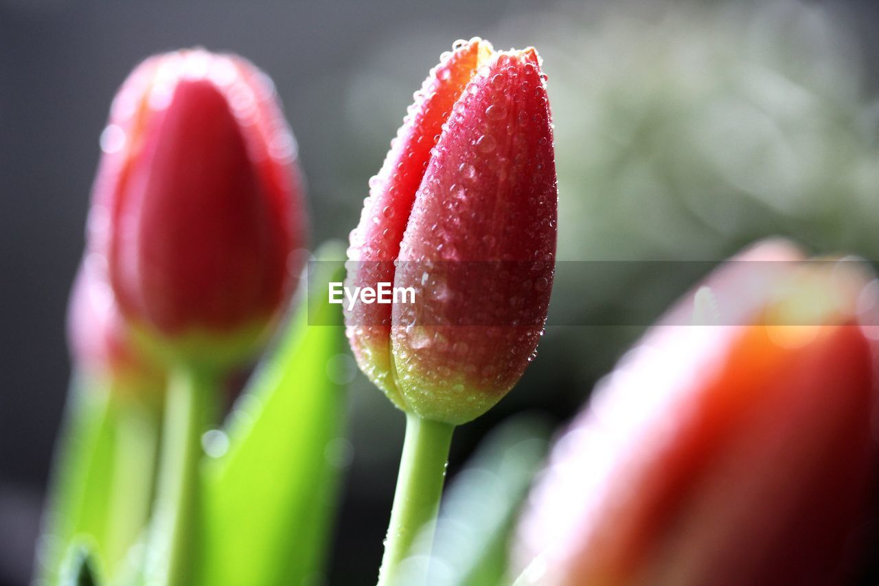 close-up, growth, plant, freshness, vulnerability, flower, flowering plant, fragility, beauty in nature, bud, nature, selective focus, no people, red, beginnings, new life, day, focus on foreground, tulip, green color, flower head, sepal