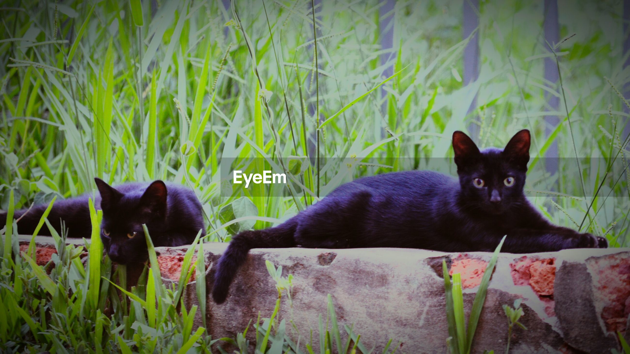 domestic animals, pets, mammal, domestic cat, cat, feline, portrait, relaxation, black color, grass, plant, resting, lying down, green color, no people, relaxing, nature, growth, alertness, whisker, animal head, day, close-up, staring, animal, grassy, black