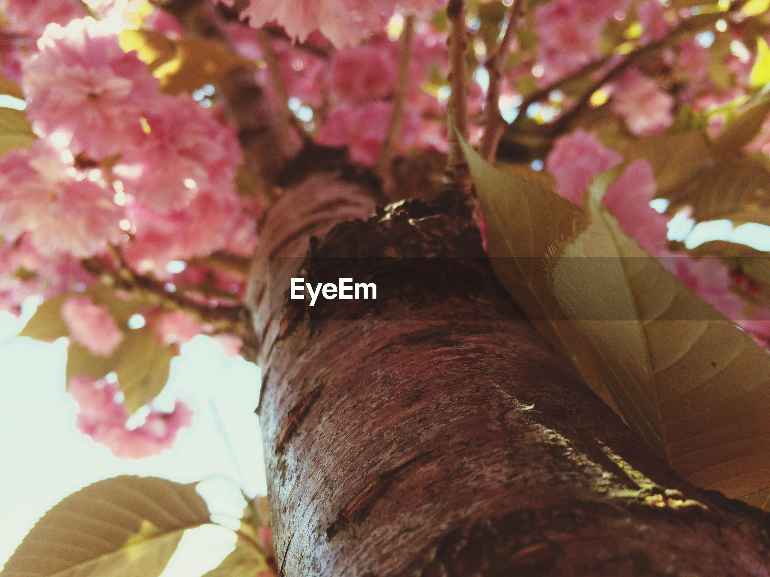 flower, freshness, close-up, focus on foreground, tree, part of, cropped, growth, nature, branch, fragility, beauty in nature, pink color, day, low angle view, petal, outdoors, blossom, leaf, selective focus