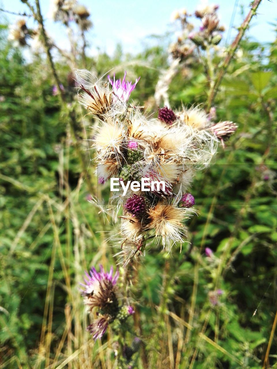 flower, nature, fragility, plant, growth, focus on foreground, day, beauty in nature, flower head, petal, purple, insect, wildflower, outdoors, no people, close-up, one animal, thistle, uncultivated, freshness, pink color, animal themes, animals in the wild, pollination, blooming