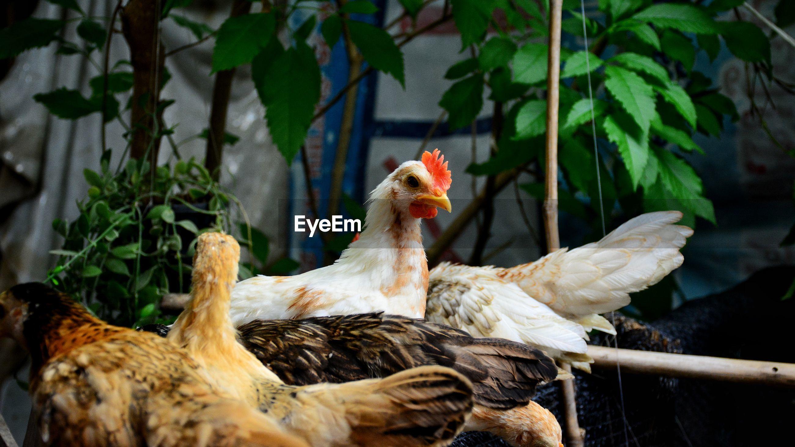 Dwarf chicken in the farm