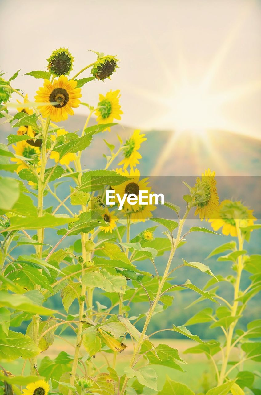 Scenic View Of Sunflower On Field Against Sky