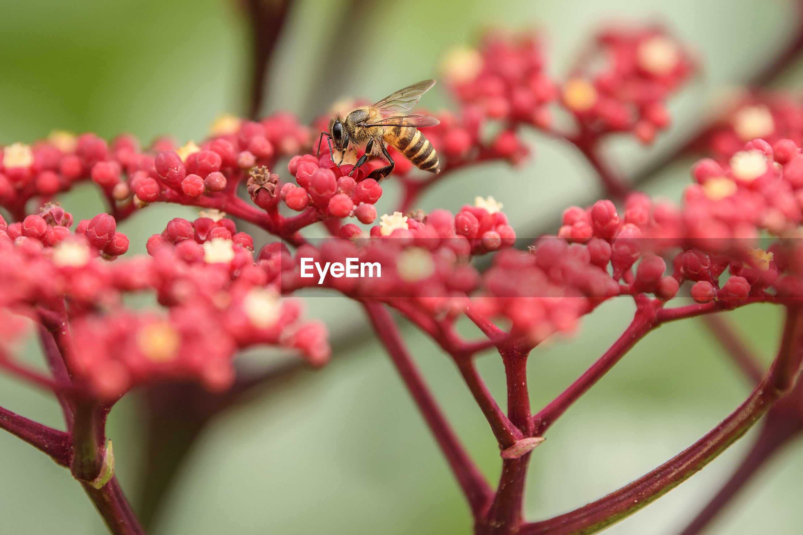 Close-up of bee pollinating red flowers