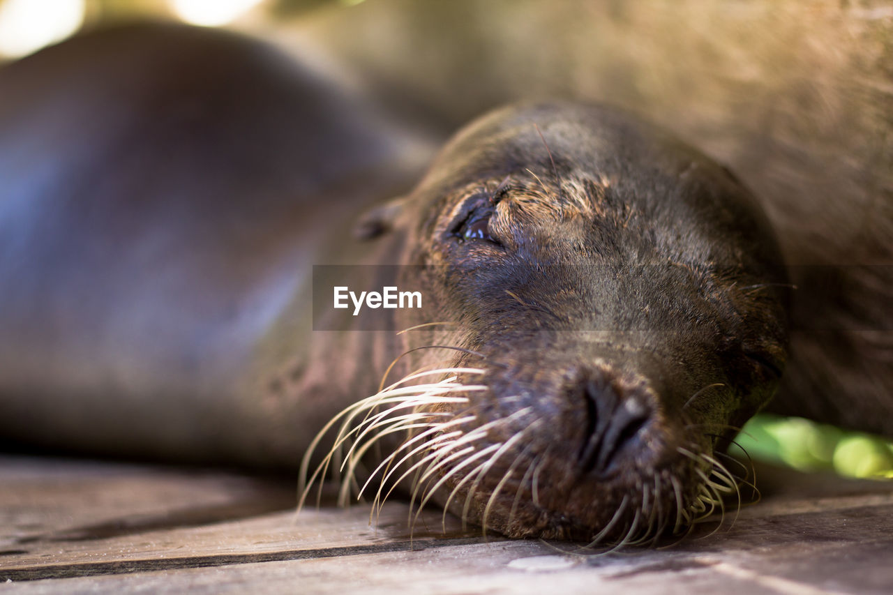 animal, animal themes, one animal, mammal, animal wildlife, animals in the wild, close-up, relaxation, underwater, vertebrate, no people, day, resting, aquatic mammal, nature, seal - animal, lying down, selective focus, eyes closed, seal, whisker, animal head, marine