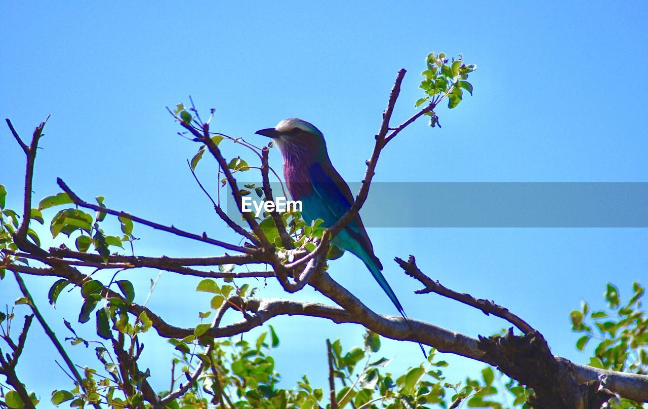 perching, bird, animals in the wild, animal themes, one animal, blue, tree, branch, low angle view, animal wildlife, clear sky, nature, beauty in nature, day, outdoors, no people, kingfisher, full length, sky