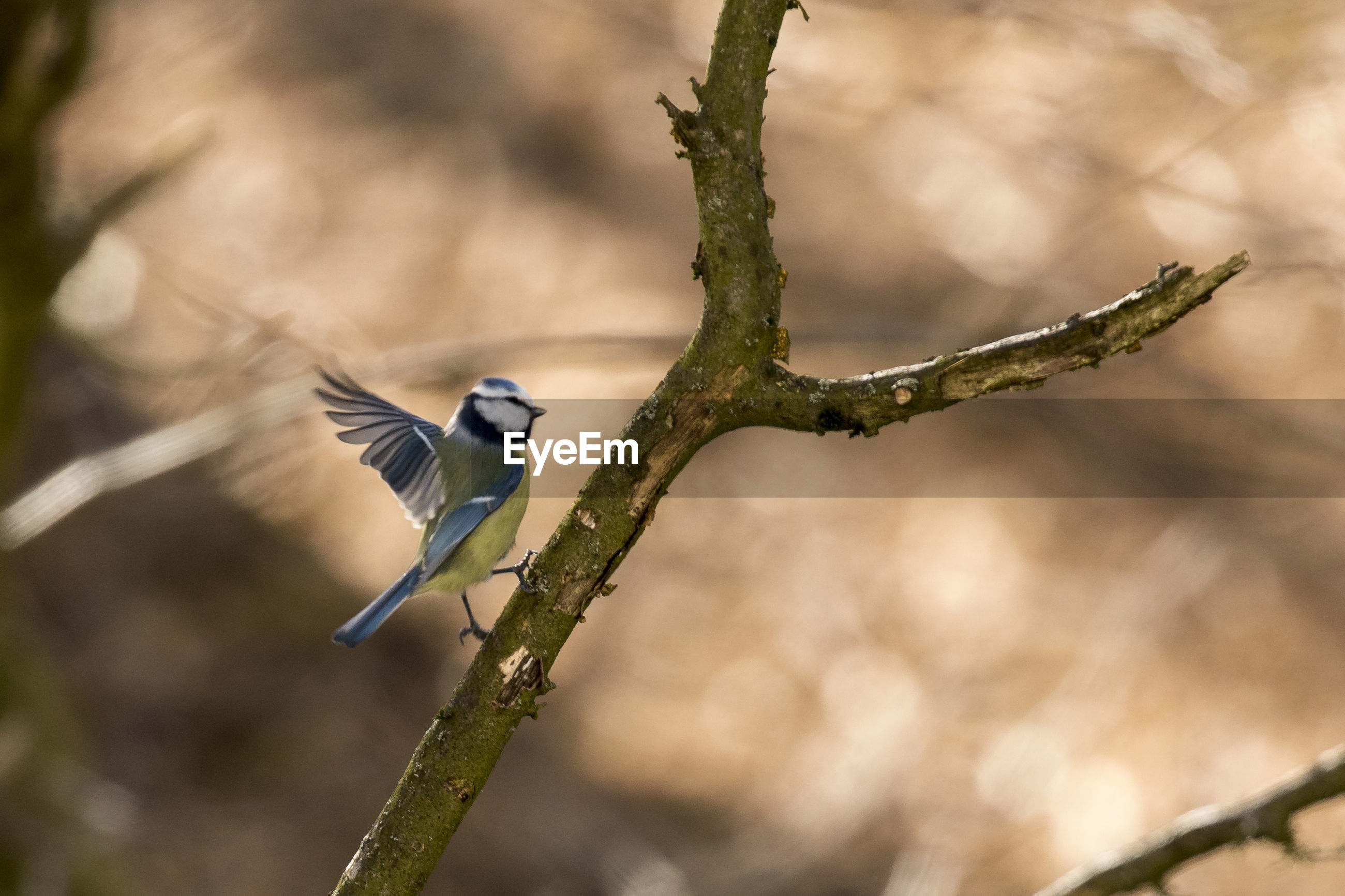 Close-up of bluetit perching on branch