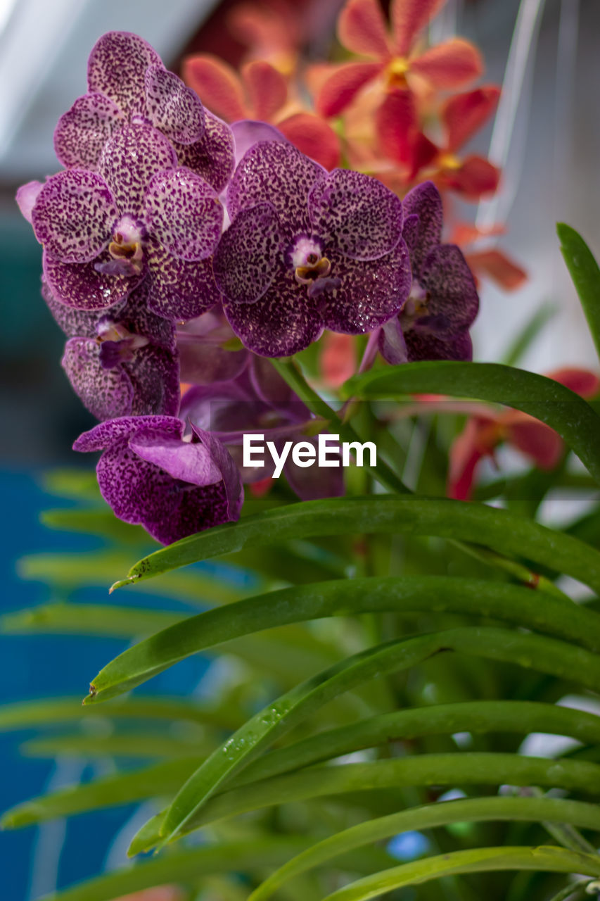 plant, flower, growth, flowering plant, close-up, freshness, beauty in nature, fragility, nature, no people, vulnerability, purple, petal, focus on foreground, flower head, inflorescence, leaf, day, plant part, selective focus