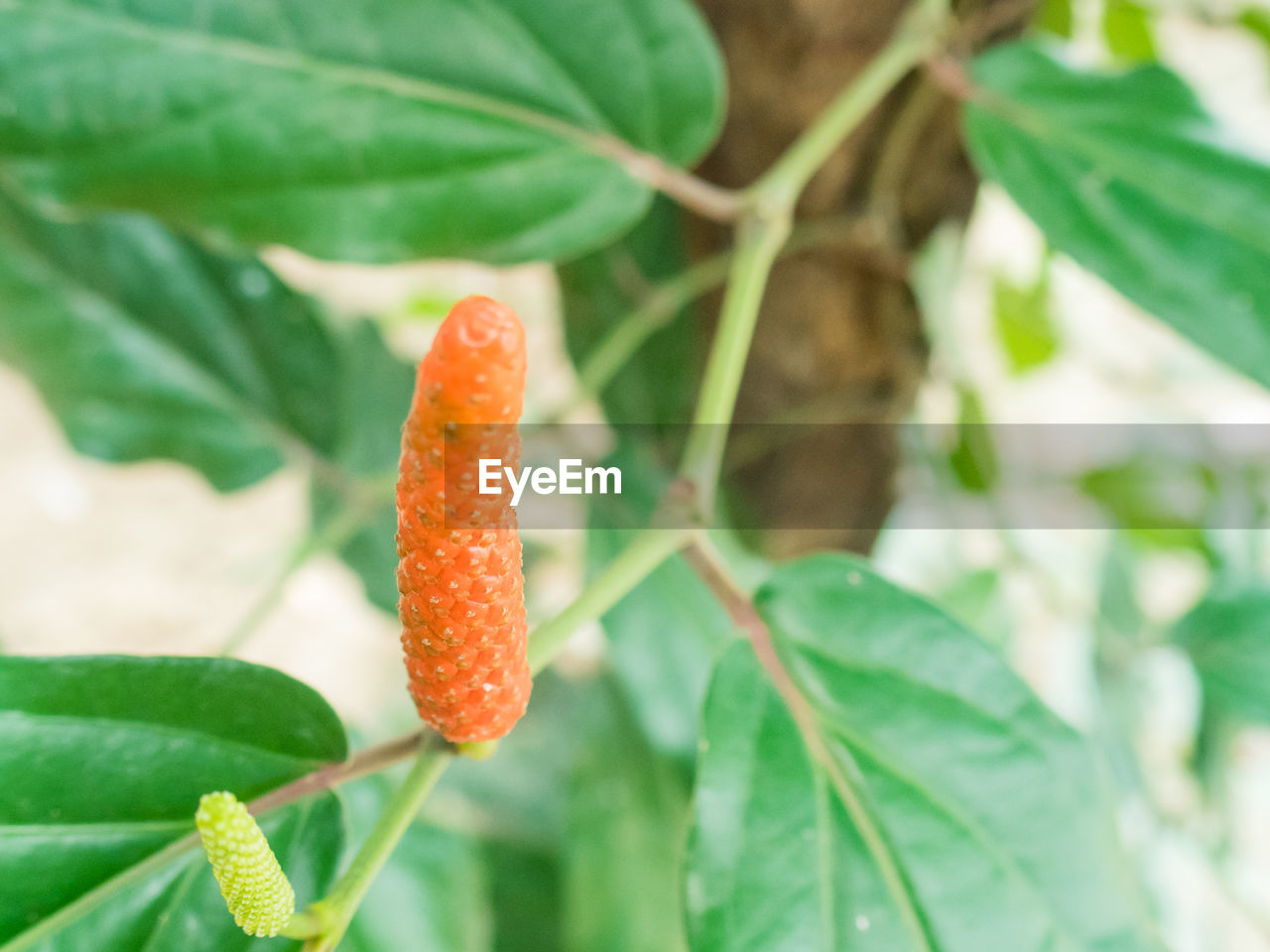 leaf, green color, growth, orange color, plant, nature, focus on foreground, close-up, no people, beauty in nature, day, outdoors, red, freshness, food