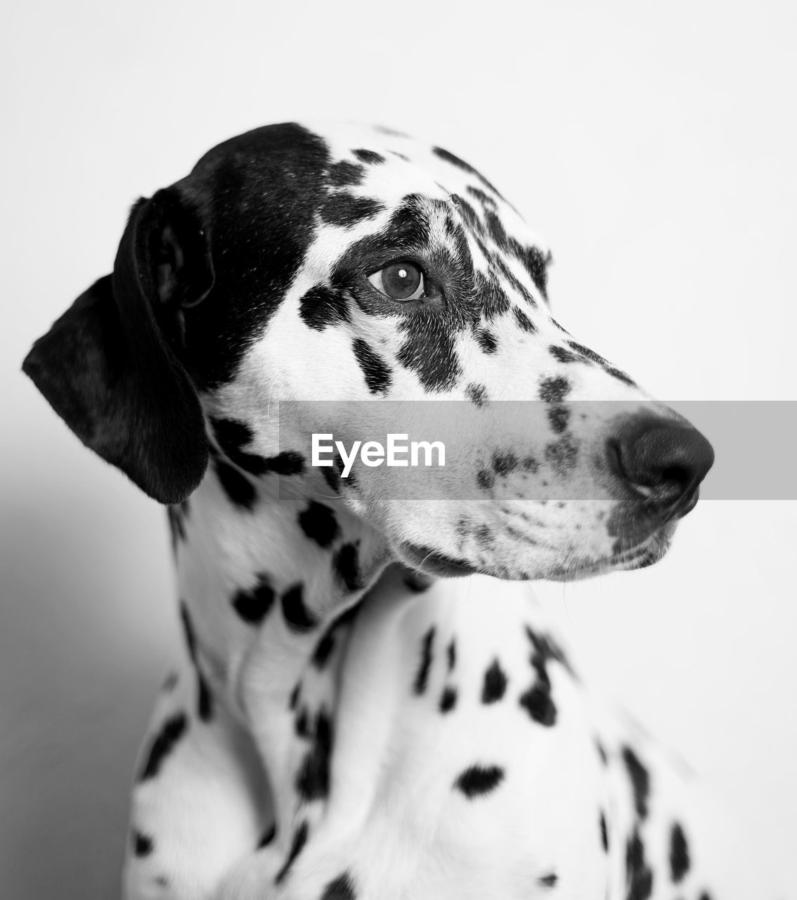 Close-Up Of Dalmatian Dog Looking Away Against Wall