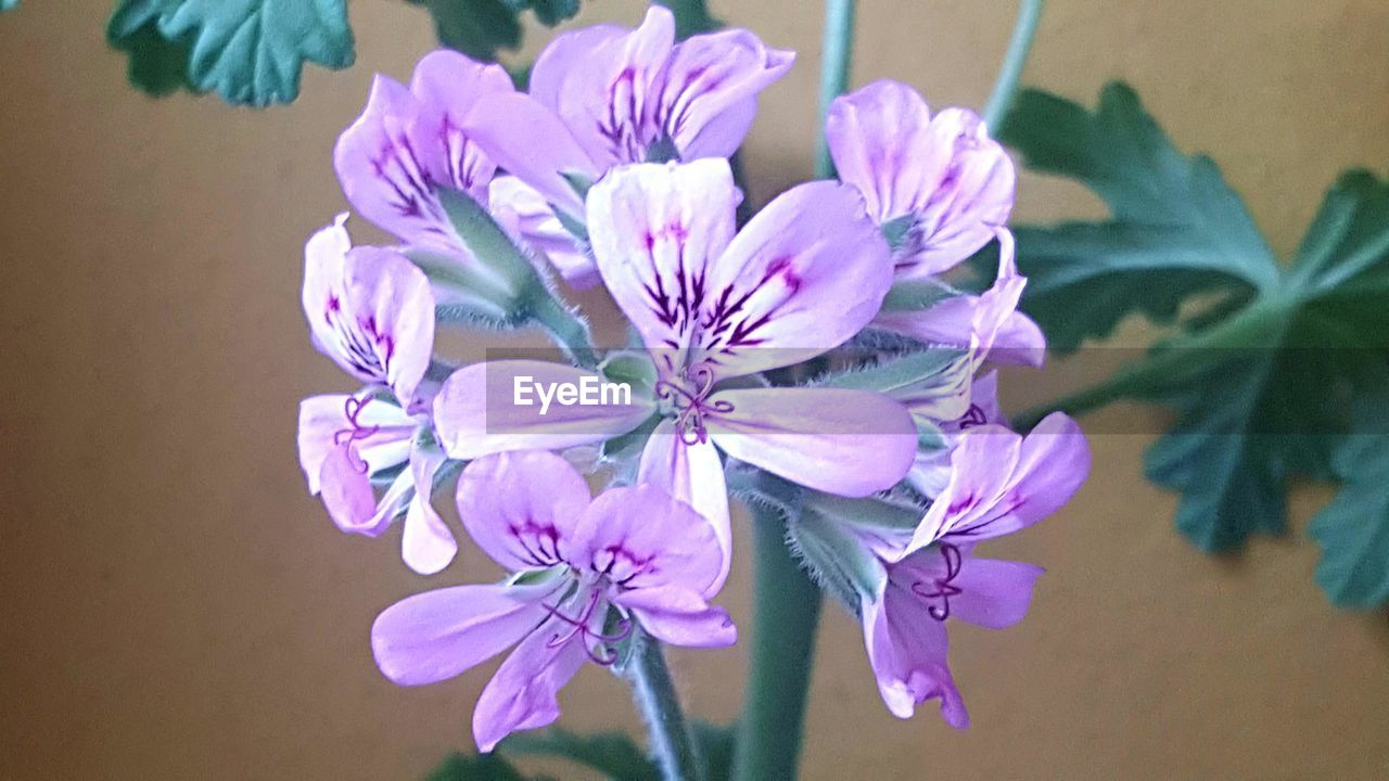 flower, flowering plant, plant, freshness, beauty in nature, petal, fragility, pink color, vulnerability, flower head, inflorescence, close-up, growth, no people, nature, focus on foreground, day, indoors, purple, flower arrangement