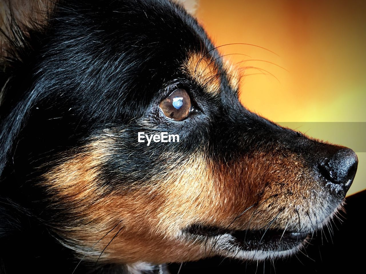 dog, pets, domestic animals, one animal, animal themes, close-up, mammal, black color, no people, day, outdoors