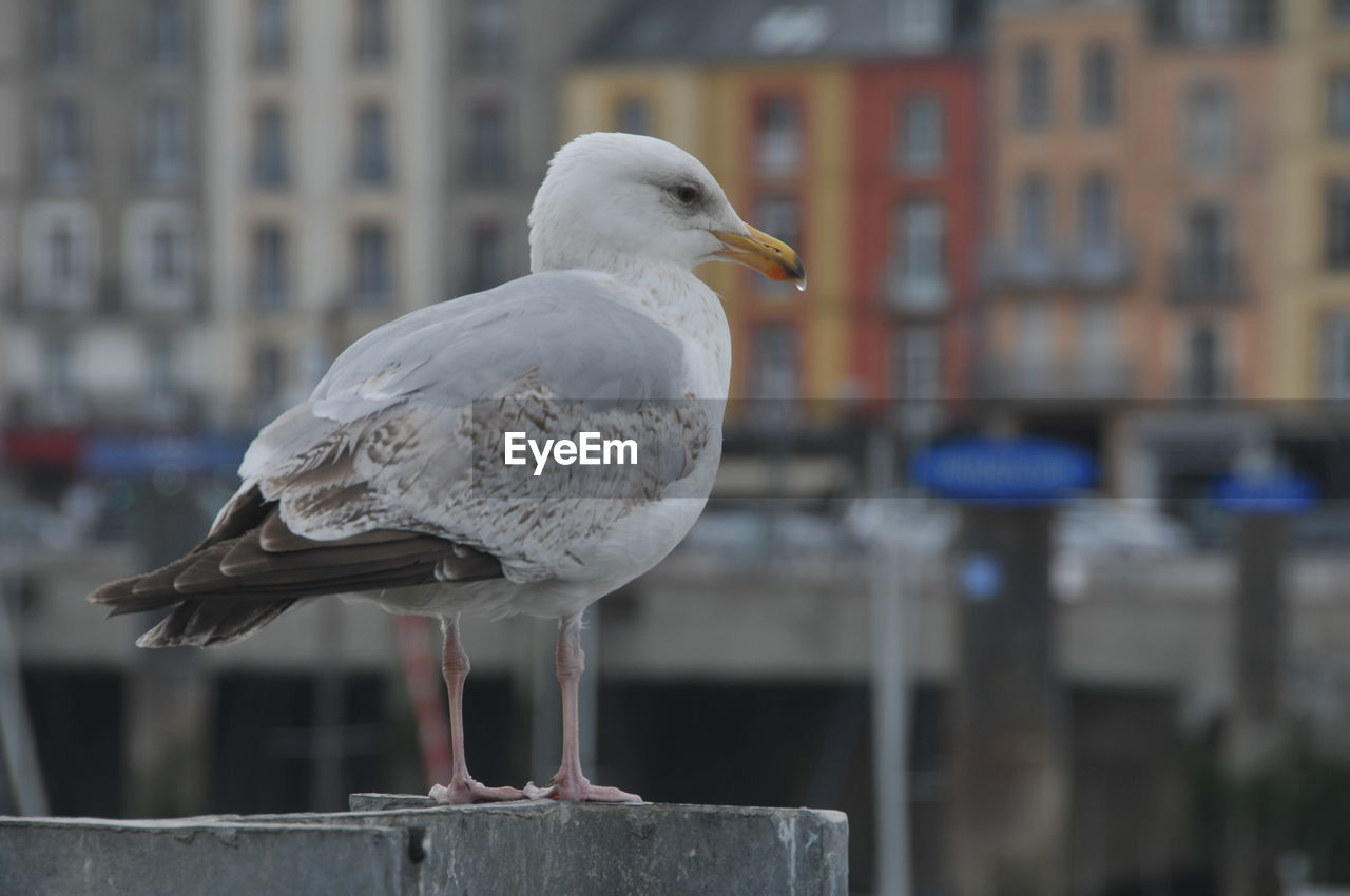 bird, vertebrate, animal, seagull, animal themes, focus on foreground, animals in the wild, perching, one animal, animal wildlife, architecture, built structure, day, building exterior, close-up, no people, sea bird, city, railing, side view, outdoors, beak, wooden post