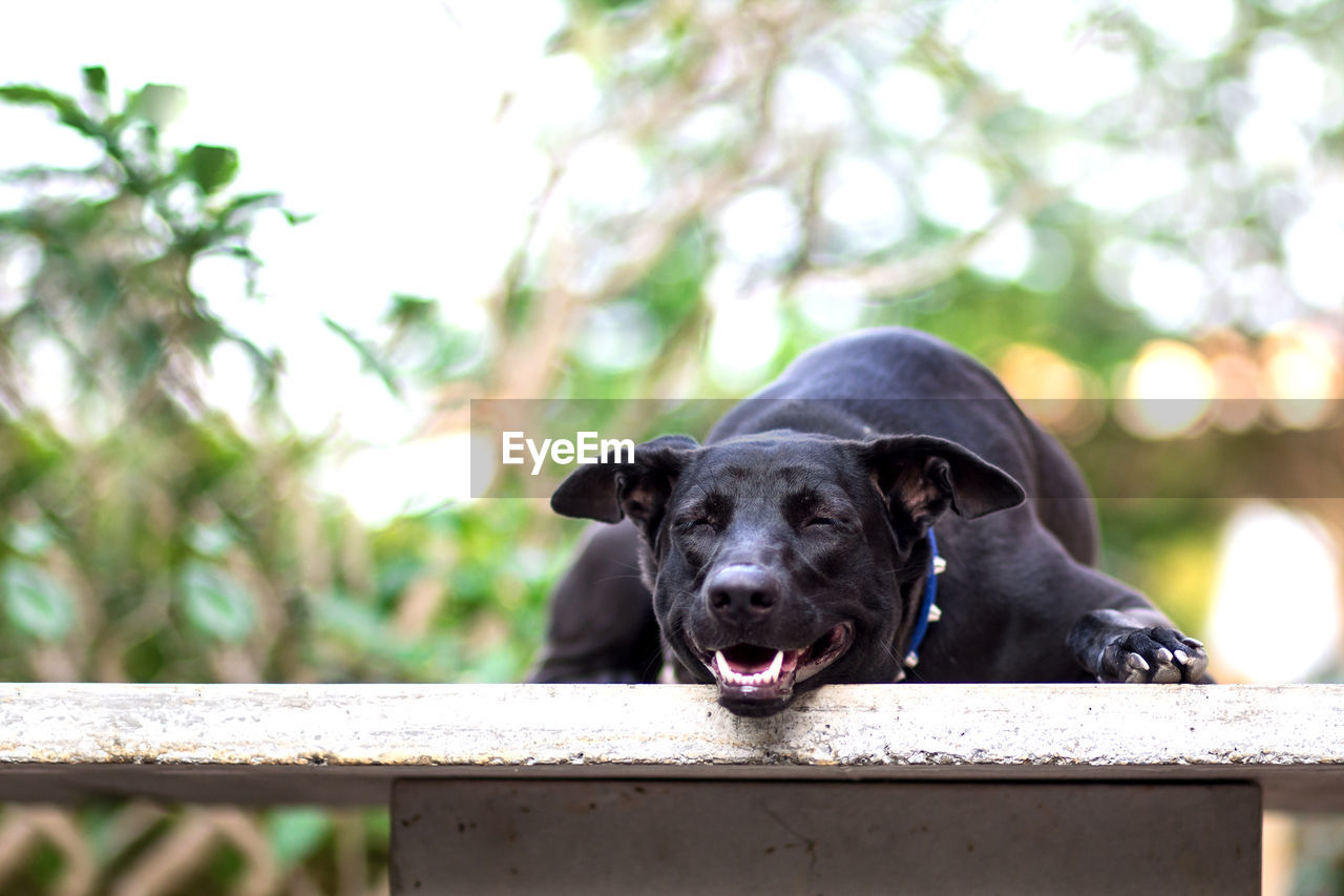one animal, animal, animal themes, mammal, canine, dog, pets, domestic, domestic animals, vertebrate, focus on foreground, black color, day, portrait, plant, looking at camera, no people, nature, railing, tree, animal head, mouth open