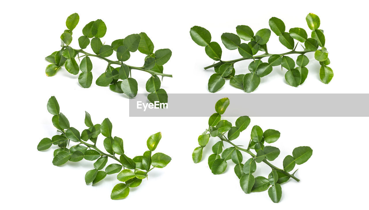 white background, green color, plant part, leaf, studio shot, freshness, indoors, nature, plant, beauty in nature, no people, cut out, food and drink, food, wellbeing, vegetable, directly above, healthy eating, white color, close-up, leaves, herb