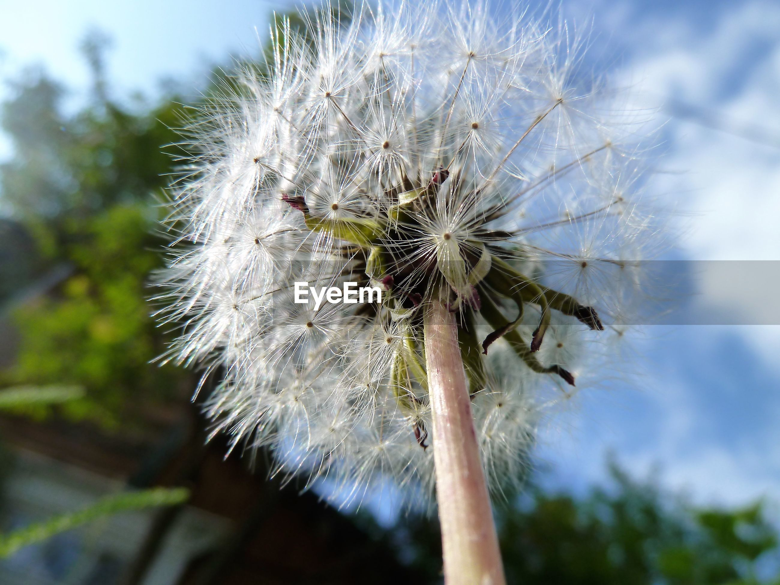 LOW ANGLE VIEW OF DANDELION ON TREE AGAINST SKY