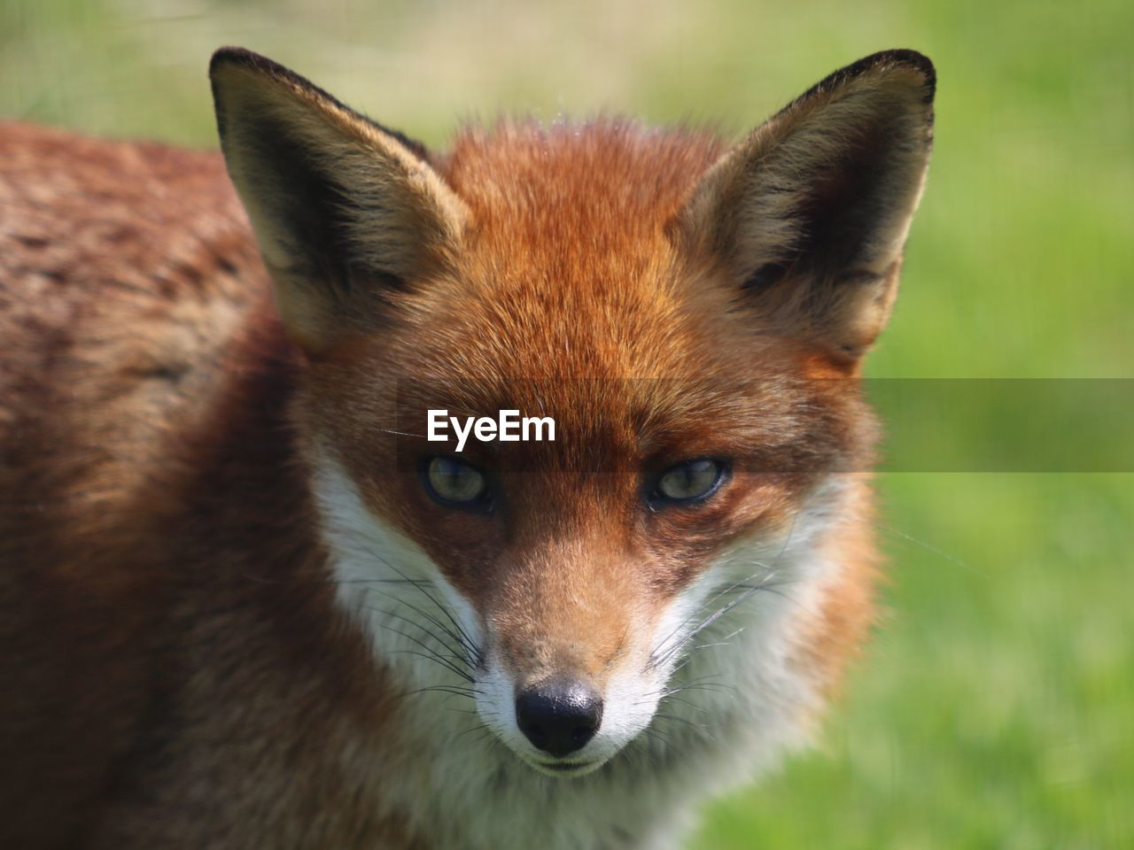 Portrait of fox