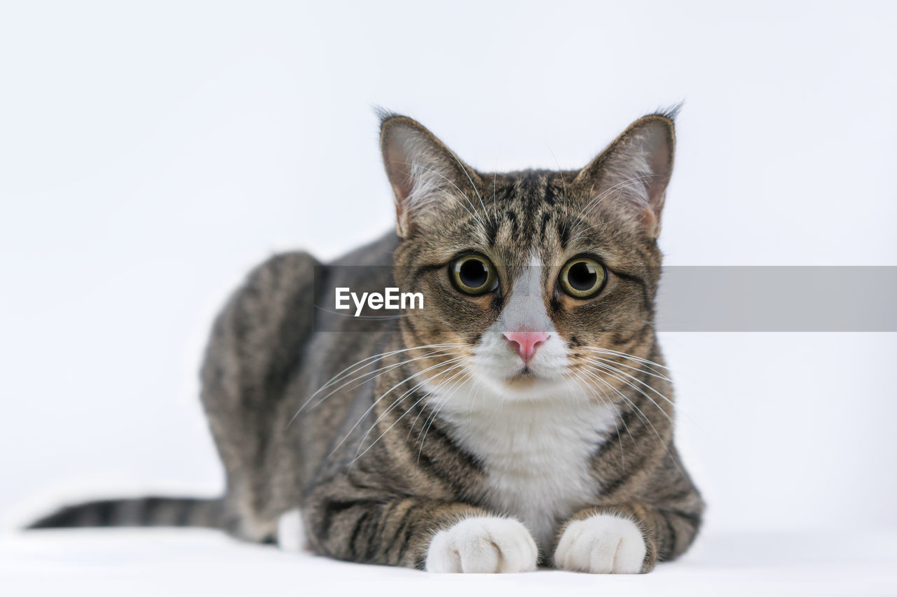 pets, cat, domestic, domestic animals, domestic cat, feline, animal themes, one animal, animal, mammal, vertebrate, studio shot, portrait, looking at camera, white background, indoors, no people, copy space, close-up, whisker, animal head, tabby, animal eye