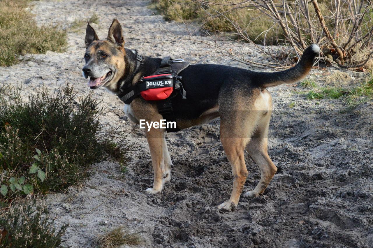 dog, pets, domestic animals, animal themes, one animal, german shepherd, mammal, day, outdoors, pet collar, full length, nature, no people