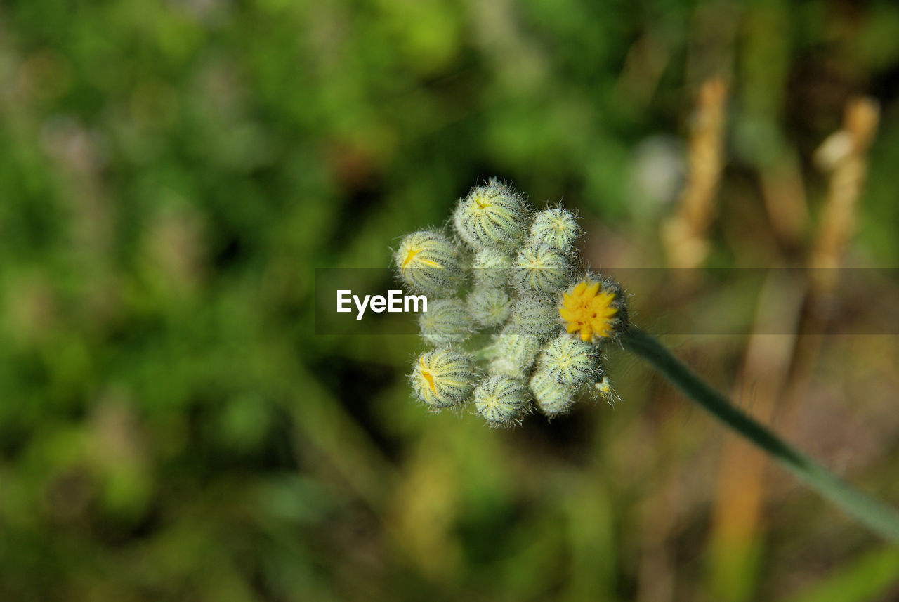 flower, nature, fragility, growth, beauty in nature, no people, plant, outdoors, yellow, day, flower head, freshness, close-up