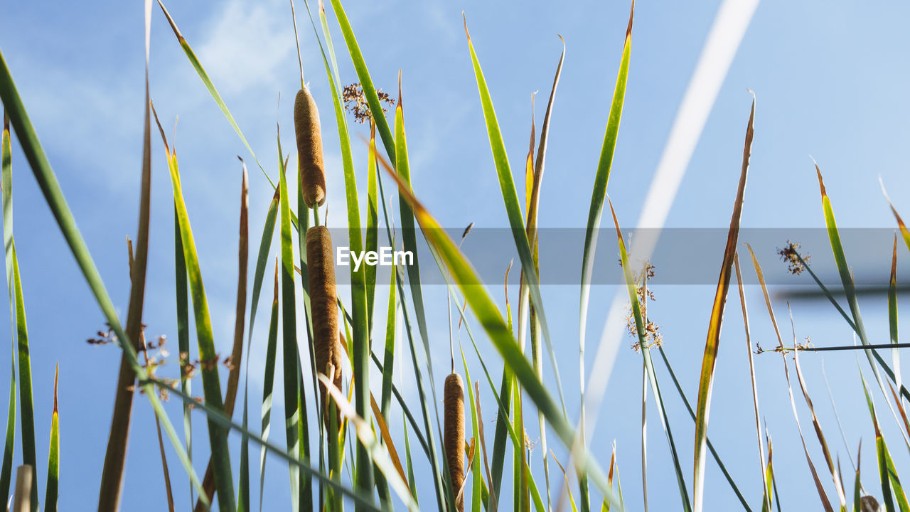 LOW ANGLE VIEW OF BAMBOO ON FIELD AGAINST SKY