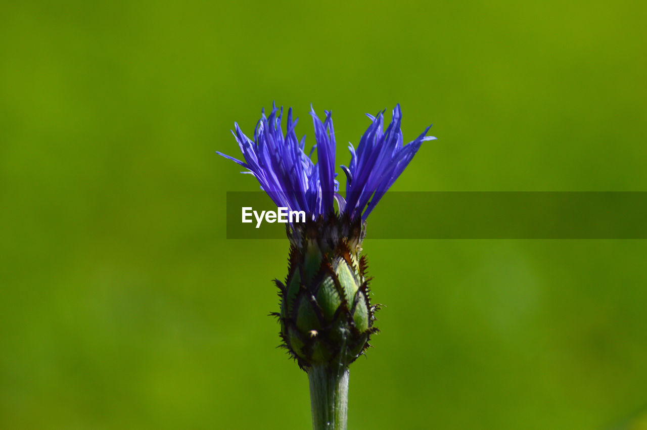 flower, flowering plant, plant, beauty in nature, vulnerability, fragility, freshness, purple, growth, close-up, petal, flower head, nature, inflorescence, no people, plant stem, day, blue, outdoors, sepal