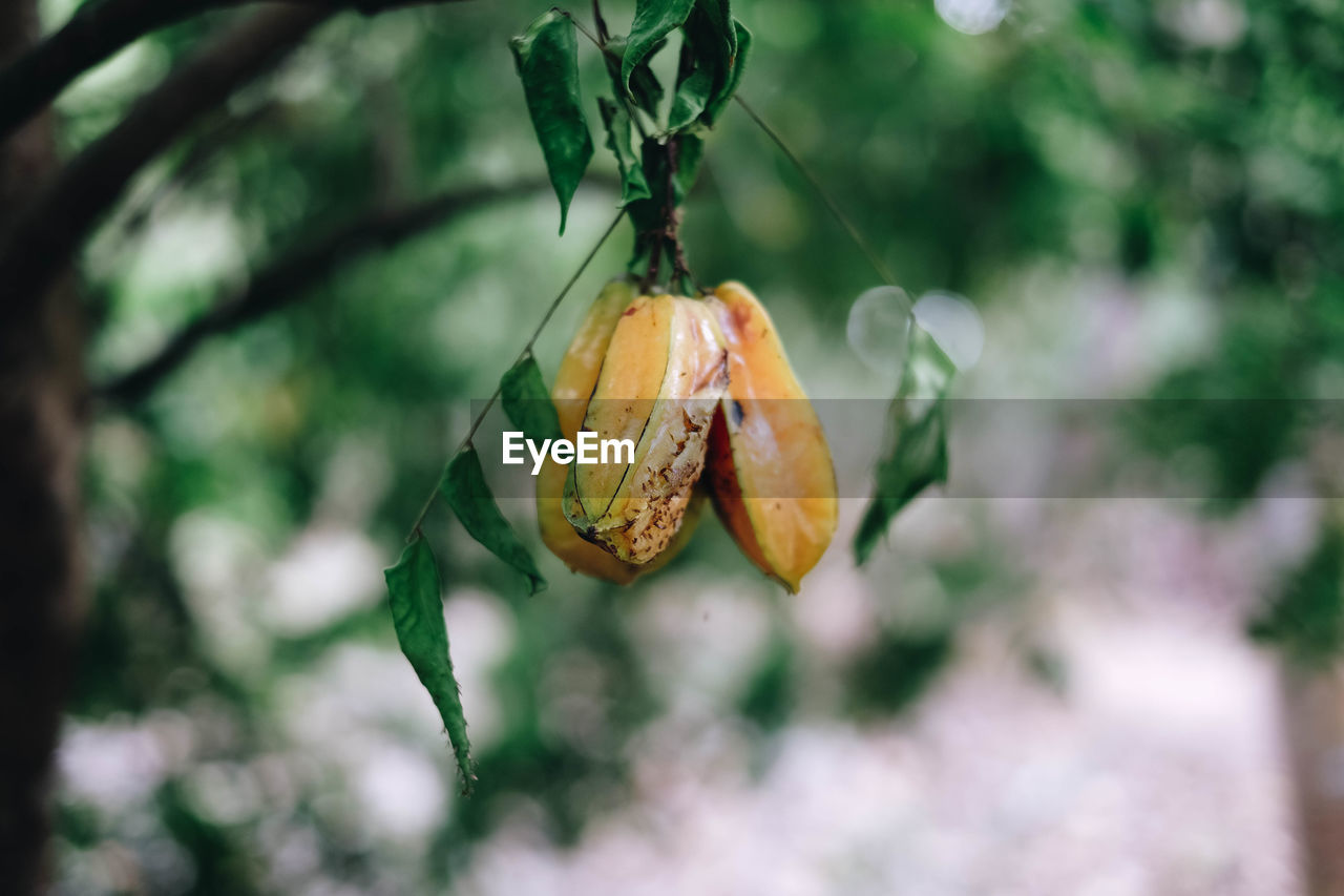 food and drink, food, plant, orange color, focus on foreground, close-up, healthy eating, fruit, no people, nature, day, growth, freshness, selective focus, beauty in nature, tree, outdoors, winter cherry, wellbeing, hanging, ripe