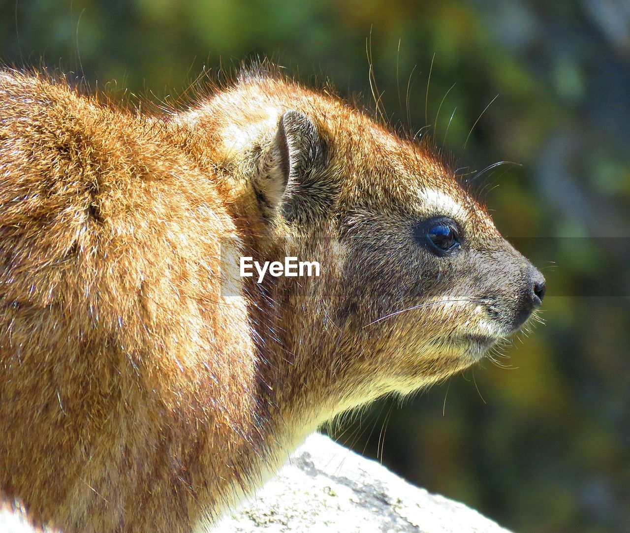 Close-up of hyrax looking away