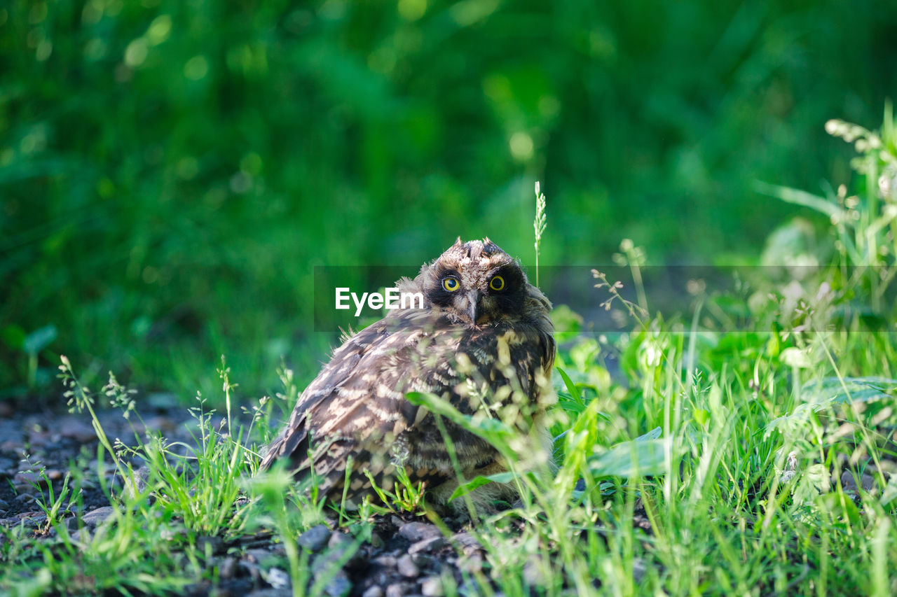 animal themes, animal, one animal, animals in the wild, plant, bird, animal wildlife, grass, vertebrate, selective focus, land, nature, green color, field, no people, day, bird of prey, young bird, young animal, growth