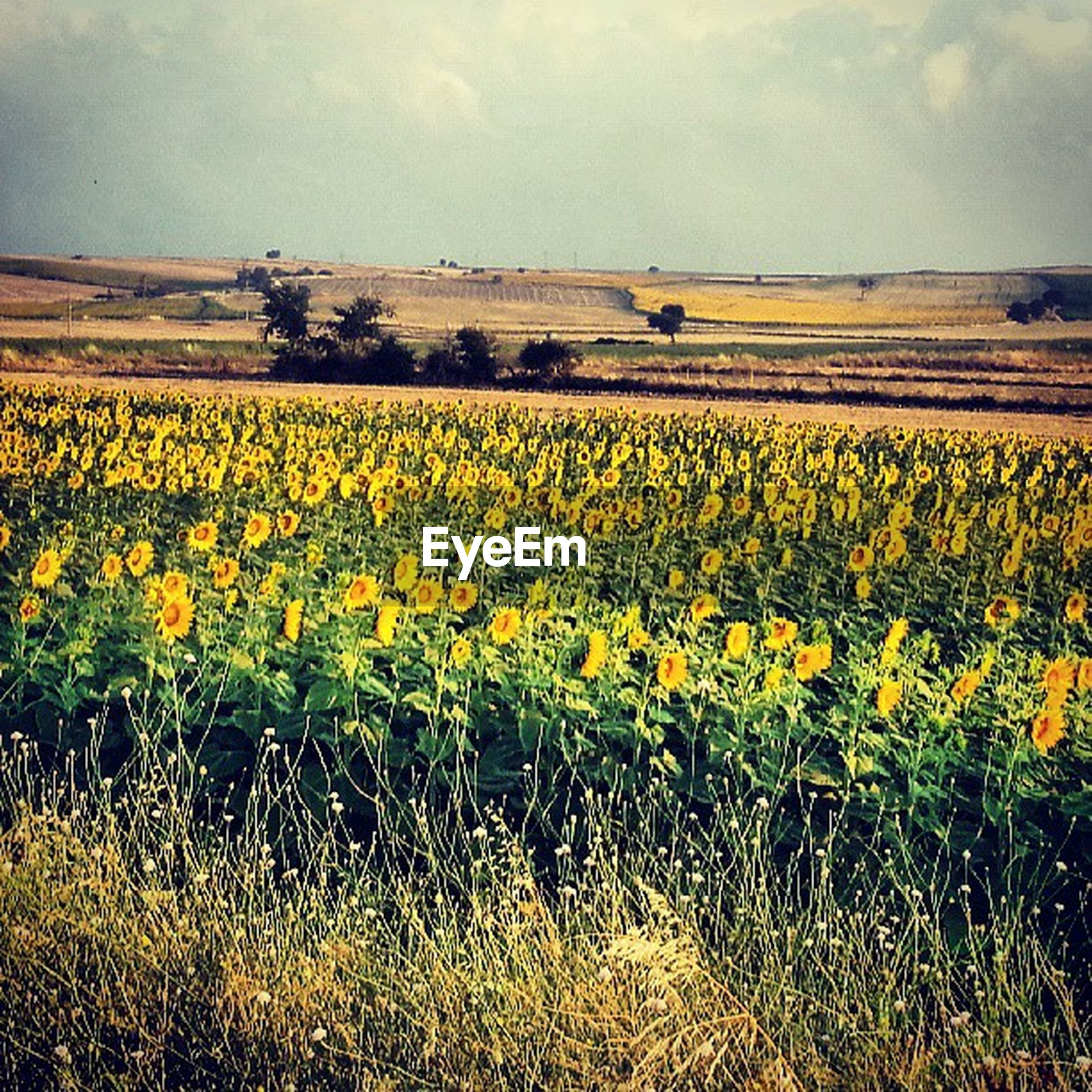 flower, yellow, agriculture, field, rural scene, growth, freshness, beauty in nature, farm, sky, landscape, nature, crop, fragility, tranquil scene, oilseed rape, plant, abundance, cultivated land, tranquility
