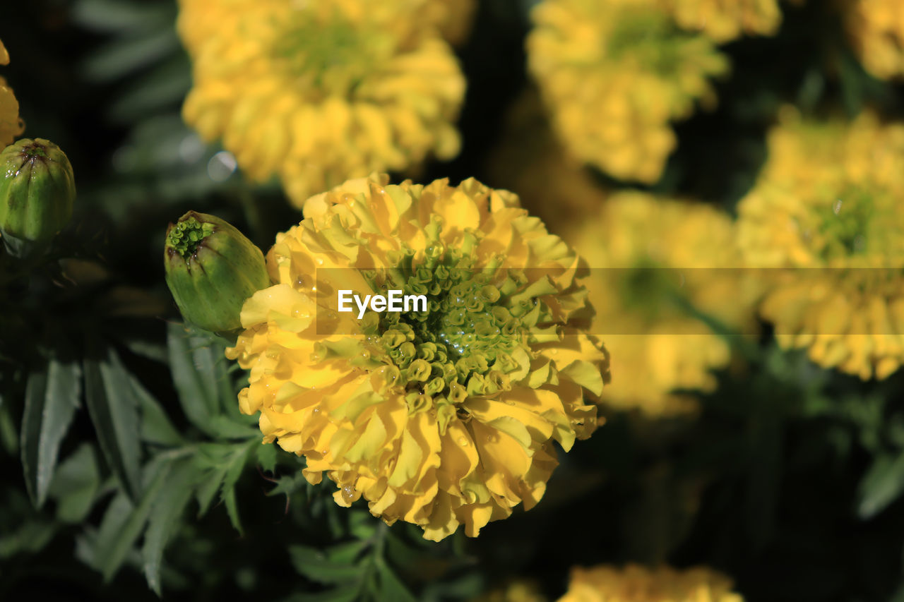 flower, flowering plant, plant, beauty in nature, growth, fragility, freshness, vulnerability, yellow, petal, flower head, close-up, inflorescence, nature, focus on foreground, day, no people, outdoors, green color, selective focus
