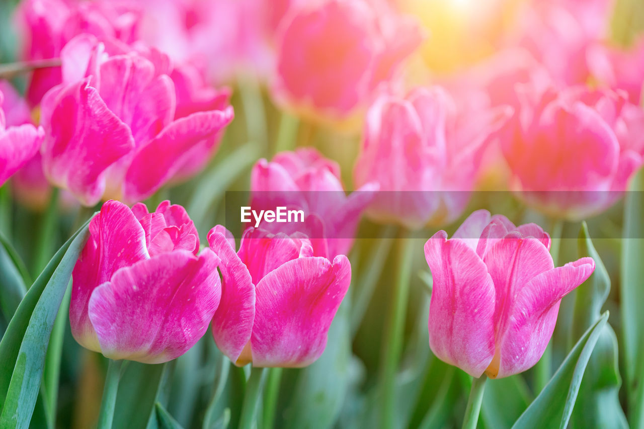flower, flowering plant, vulnerability, fragility, beauty in nature, plant, petal, pink color, freshness, growth, close-up, flower head, inflorescence, nature, no people, day, tulip, focus on foreground, outdoors, botany
