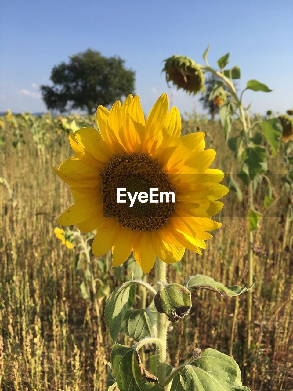 plant, flower, flowering plant, yellow, growth, freshness, sunflower, fragility, vulnerability, beauty in nature, flower head, land, field, nature, petal, close-up, inflorescence, focus on foreground, rural scene, landscape, pollen, no people, outdoors, plantation