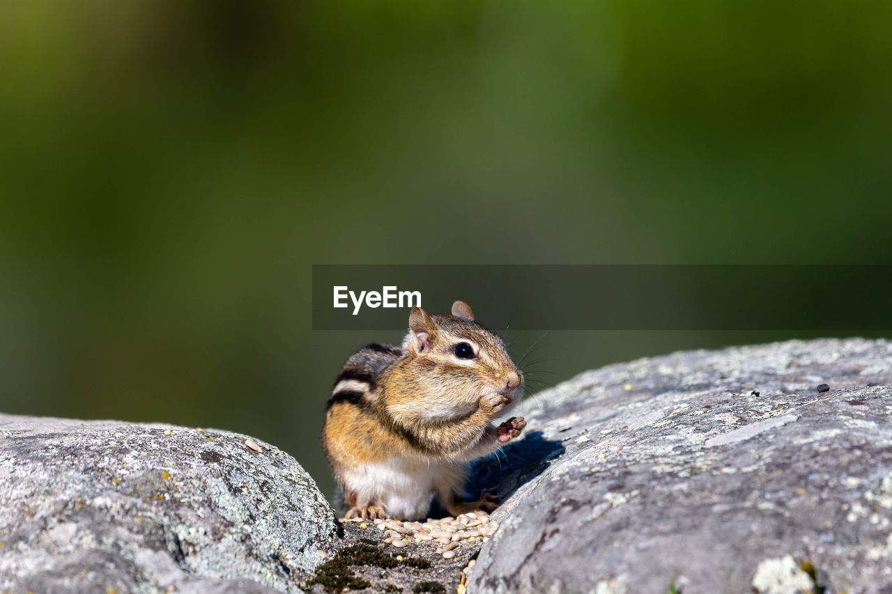animal wildlife, rodent, one animal, animal themes, animal, animals in the wild, rock, no people, rock - object, solid, mammal, nature, day, selective focus, close-up, squirrel, vertebrate, focus on foreground, chipmunk, outdoors