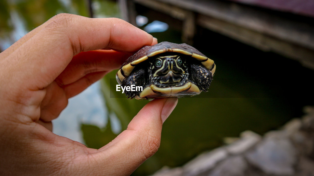 Close-Up Of Human Hand Holding Small Turtle