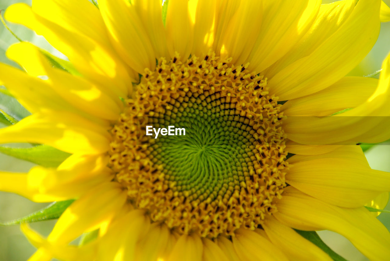 flower, petal, yellow, fragility, beauty in nature, nature, flower head, growth, freshness, pollen, close-up, plant, no people, sunflower, outdoors, blooming, springtime, day