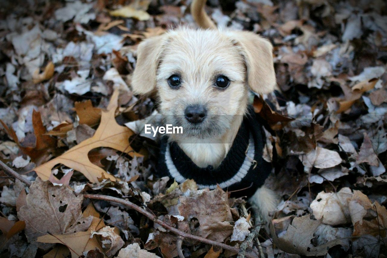 Portrait of puppy amidst autumn leaves at field