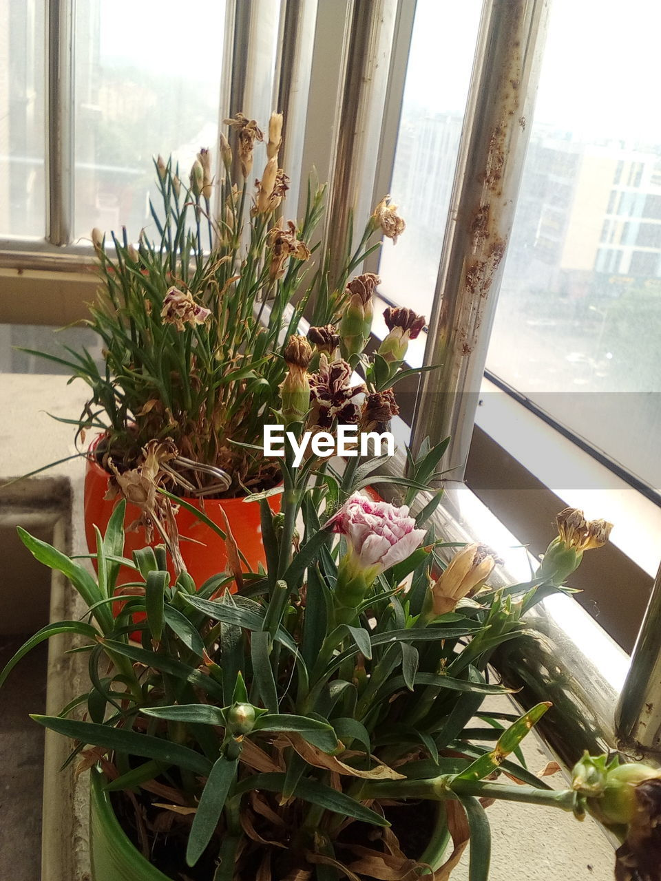 plant, window, flower, flowering plant, indoors, nature, growth, no people, freshness, day, potted plant, glass - material, beauty in nature, home interior, fragility, decoration, plant part, petal, close-up, vulnerability, flower head, flower pot, flower arrangement, bouquet, houseplant