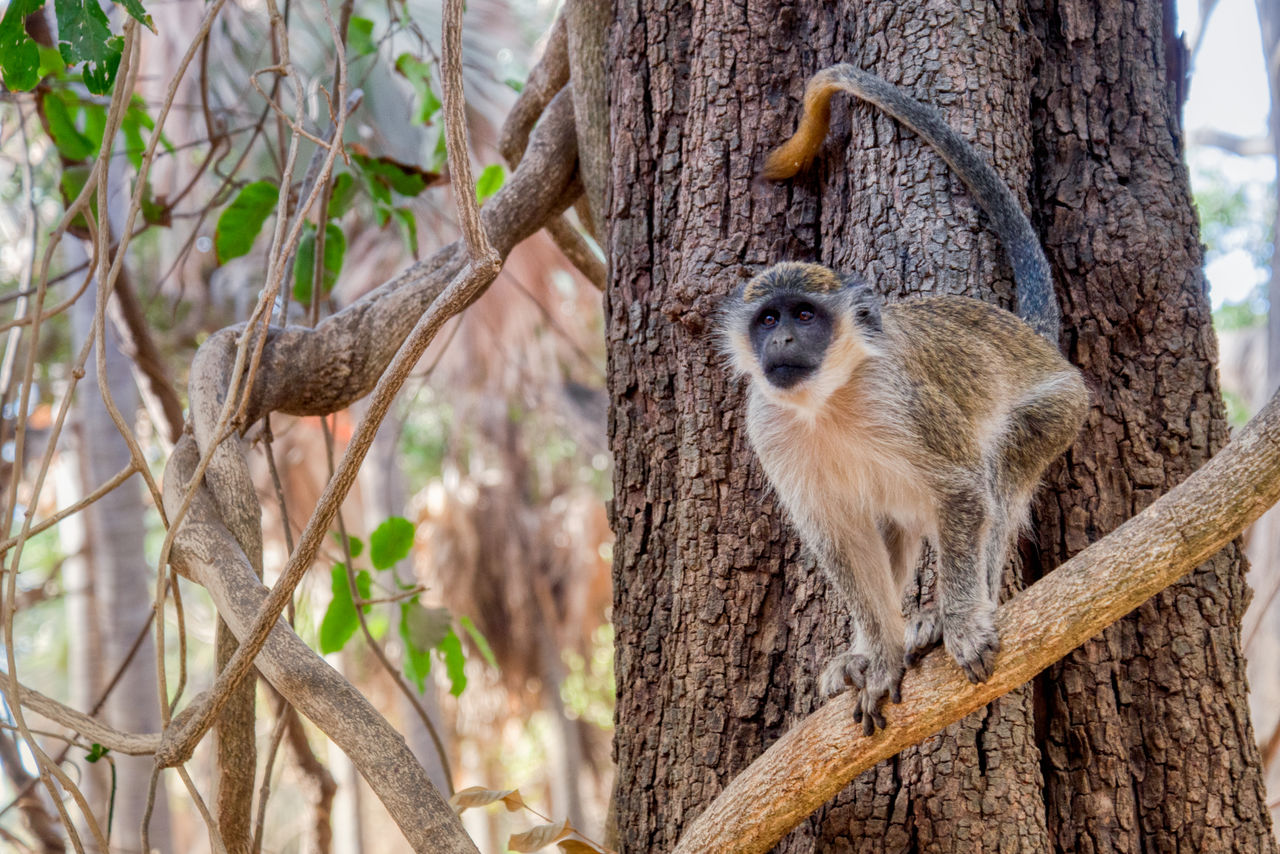 animal themes, tree, animal, animals in the wild, mammal, animal wildlife, tree trunk, trunk, plant, one animal, focus on foreground, day, no people, vertebrate, nature, branch, outdoors, looking at camera, portrait, primate