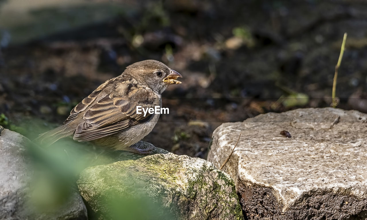 animal wildlife, animal themes, animal, animals in the wild, vertebrate, bird, one animal, rock, solid, rock - object, no people, day, nature, perching, close-up, sparrow, focus on foreground, selective focus, outdoors, looking