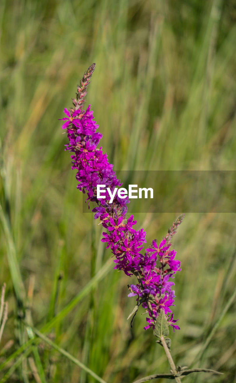 purple, flower, growth, nature, lavender, plant, beauty in nature, fragility, day, outdoors, field, no people, animals in the wild, freshness, one animal, animal themes, close-up, pollination, flower head