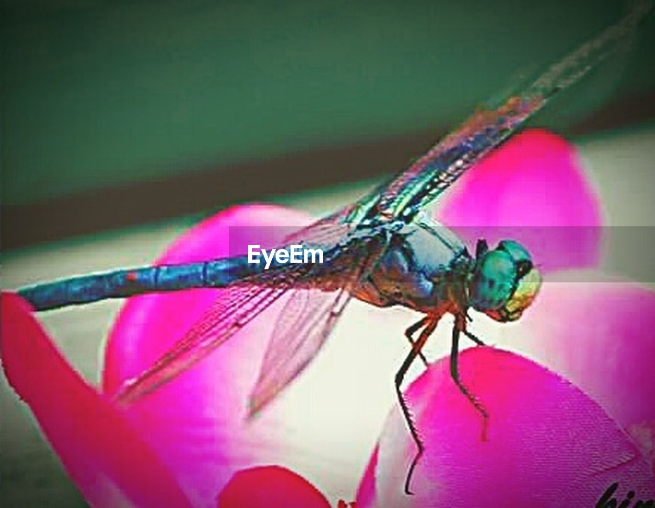 insect, animal themes, one animal, animals in the wild, close-up, animal wildlife, no people, damselfly, day, outdoors, nature