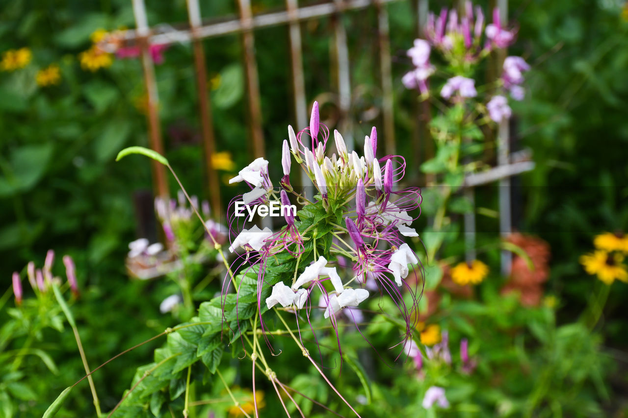 flower, nature, purple, growth, fragility, freshness, plant, outdoors, focus on foreground, beauty in nature, day, petal, no people, green color, close-up, flower head, blooming